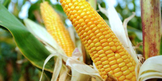 OGM en France: la course contre-la-montre pour éviter des champs de maïs transgénique a
