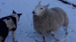 Ce mouton est persuadé d'être un
