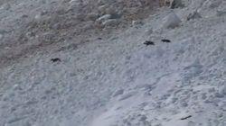 Rassurez-vous, cette vidéo de chamois dans une avalanche se termine