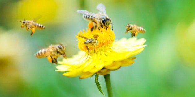 Les insecticides néonicotinoïdes tuent les abeilles, en voici une preuve de
