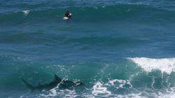 À La Réunion, le menace des requins sur les surfeurs peine à être