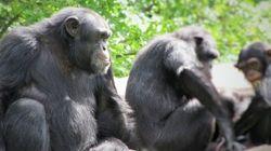 Les chimpanzés aussi peuvent apprendre des