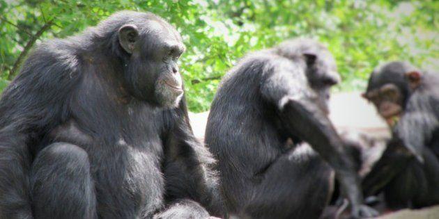 Langage: les chimpanzés peuvent adopter les accents de leur compagnons de captivité, selon une