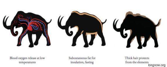 PHOTOS. La résurrection des mammouths se fera peut-être plus rapidement que vous ne le