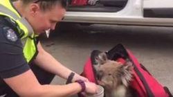VIDÉO. Australie: un koala victime des feux de brousse sauvé par la