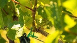 Un viticulteur bio poursuivi pour avoir refusé de traiter sa