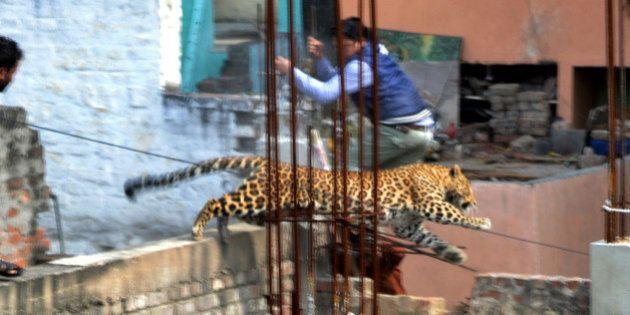 PHOTOS. Un léopard sème la panique dans la ville de Meerut en