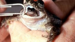 Une grenouille disparue ressuscitée par des