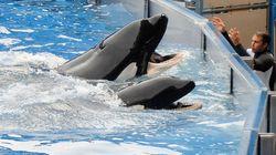 Interdit d'élevage d'orques en captivité, le parc SeaWorld... porte