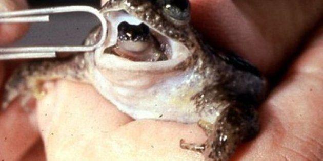 Une grenouille disparue depuis 30 ans ressuscitée par des scientifiques