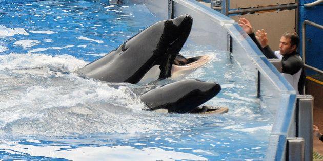 Interdit d'élevage d'orques en captivité, le parc SeaWorld porte