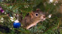 Cet adorable écureuil a élu domicile dans un sapin de