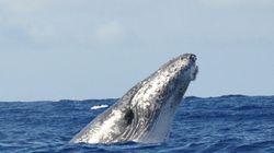 La plupart des baleines à bosse plus en danger