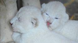 Ces lionceaux blancs vont vous faire