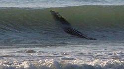 Un crocodile géant fait du surf sur une plage