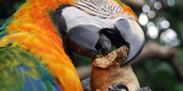 En Inde, un perroquet permet d'identifier le meurtrier de sa