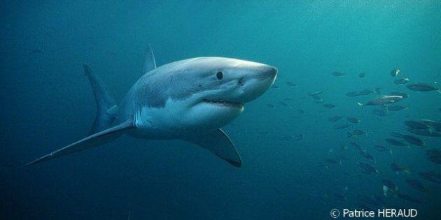 Le grand requin blanc a trois fois plus d'appétit qu'on le
