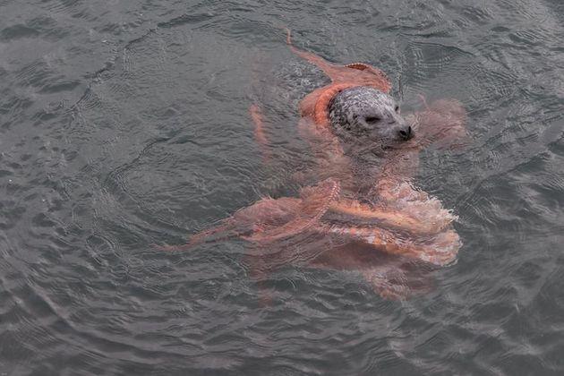 PHOTOS. Un combat entre un phoque et une pieuvre géante du pacifique photographié au