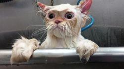 Ce chat qui sort du bain vaut le