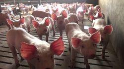 Elevage porcin: Et si nous cessions de confondre le meilleur et le