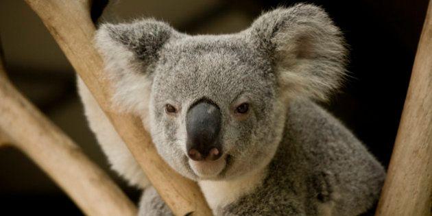 Réchauffement climatique: le koala australien menacé de