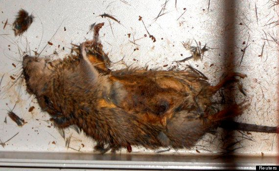 PHOTO. Fukushima : Tepco publie la photo du rat à l'origine du