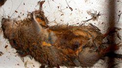 Tepco publie la photo du rat à l'origine d'une panne à