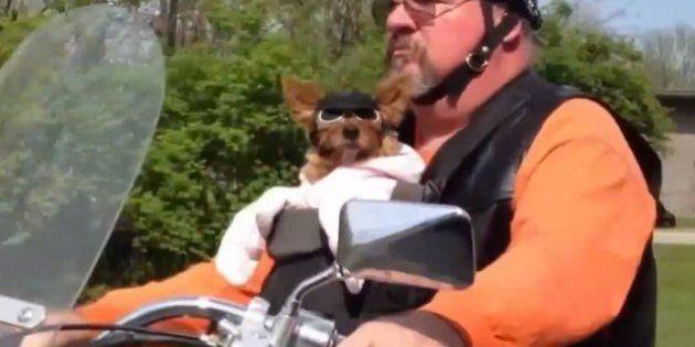 VIDÉO. Ces chiens sur des motos se prennent pour Marlon