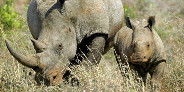 Espèces en voie de disparition: 60% des herbivores seraient menacés