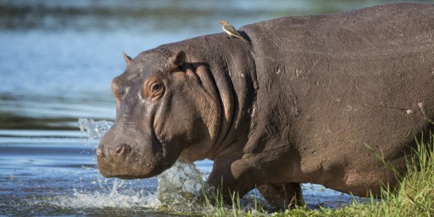 Hippo walking into water with ox peckers on his back South