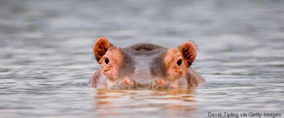 L'ancêtre de l'hippopotame est le même que celui... de la baleine, et les chercheurs se rapprochent de...
