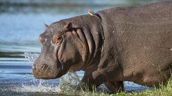 L'ancêtre de l'hippopotame est le même que celui... de la