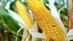 La France interdit la culture du maïs