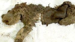 Un bébé rhinocéros laineux vieux de 10.000 ans découvert en