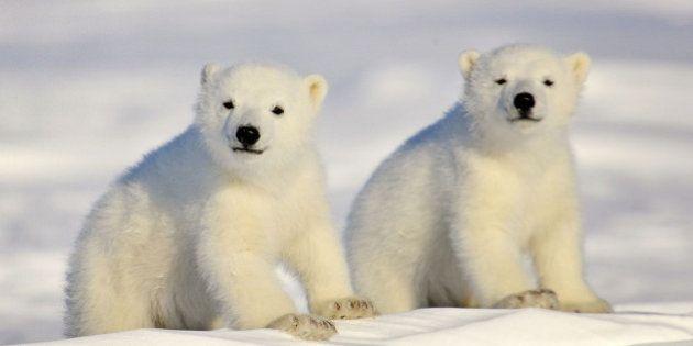 PHOTOS. Ours polaire: 10 clichés magnifiques pour la journée internationale consacrée à