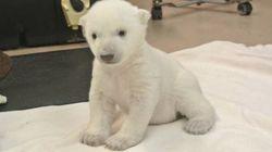 Cet ourson polaire va vous faire