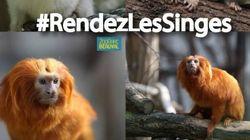 Le web se mobilise pour retrouver 17 singes rares volés au zoo de