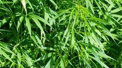 Bientôt un traitement pour guérir l'addiction au cannabis