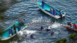 La moitié des dauphins d'aquariums du Japon capturés par une chasse