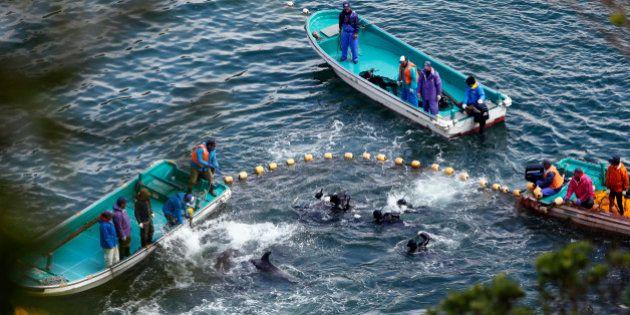 La moitié des dauphins d'aquariums du Japon capturés avec une technique de chasse