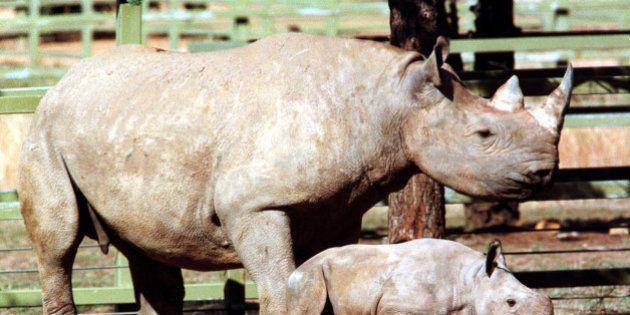 Un permis de chasse aux rhinocéros noirs en Namibie adjugé 350.000 dollars pour... protéger