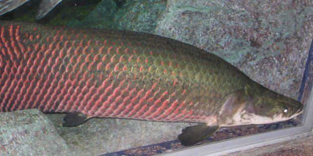 Un poisson amazonien, l'arapaima gigas, doté d'un blindage anti-piranha unique dans la