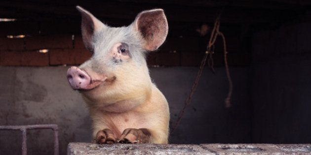 La Chine invente le clonage de cochon en