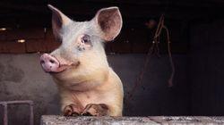 La Chine clone du cochon en