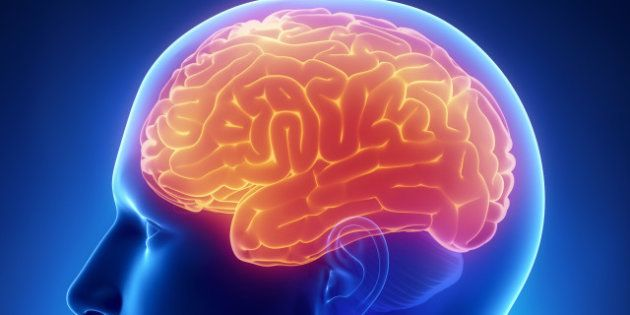 brain cerebrum anatomy
