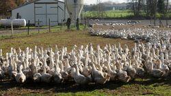 290 millions supplémentaires pour les éleveurs dont 130 pour le foie