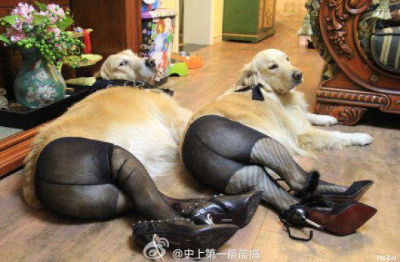 Mettre des collants aux chiens: la nouvelle mode en