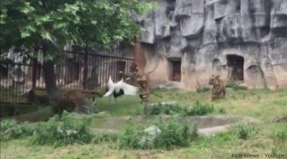 VIDÉO. Une grue fait face à trois tigres et gagne son