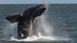 750 baleines ont été sauvées des harpons japonais en