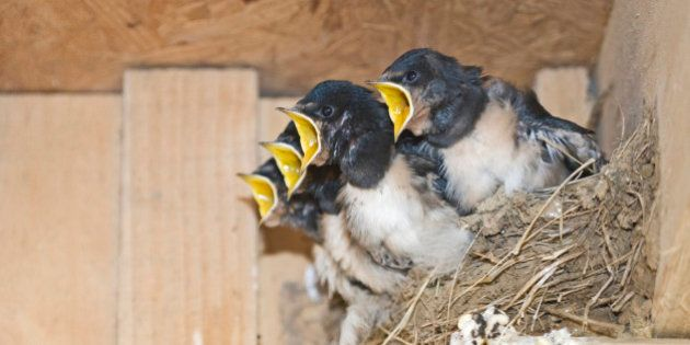Barn Swallow Hirundo rustica young in nest Cley Norfolk September